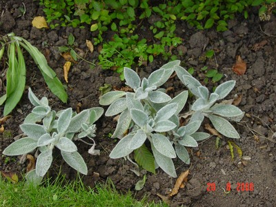 Uknown_silver_leafed_plant