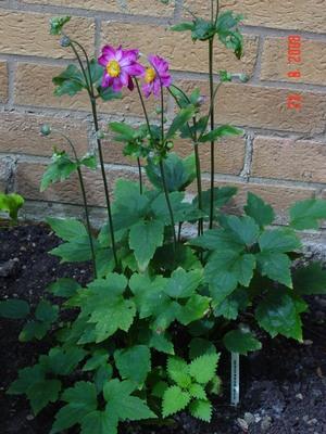 Maybe_wild_geranium