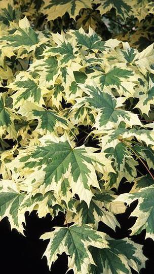 Acer_platanoides_drummondii_foliage