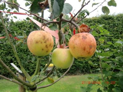James_greives_apple_spots