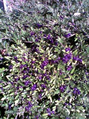 Purple_berries_in_anstey