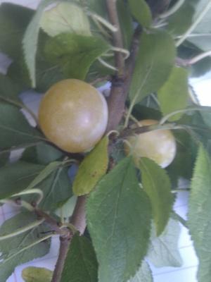 Wild_plum