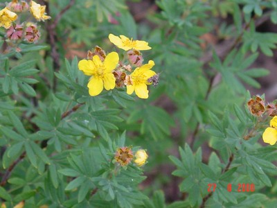 Unknown_yellow-flowered_plant