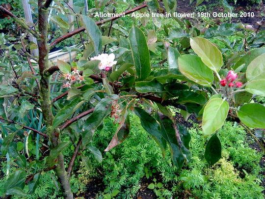 Allotment_apple_tree_in_flower_2010_10_19