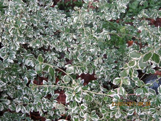 Euphorbia_001