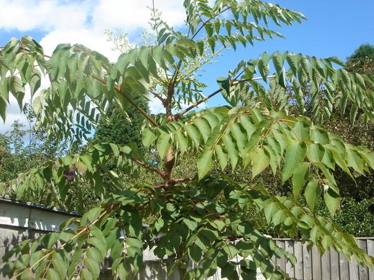 Mahonia_tree