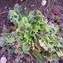 100_0673_garden_advice_primrose