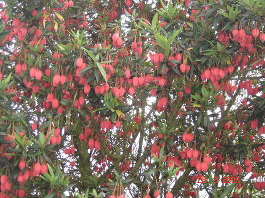 Bell_tree_28_may_2009