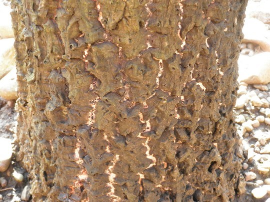 Damaged_palm_bark_1