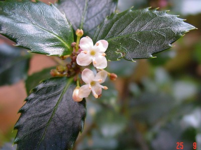 Holly_flower_and_leaves