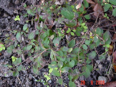 Straggly_mystery_plant