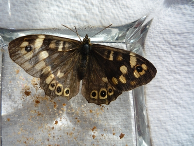 Butterfly_mystery