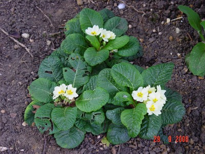 Primroses_flowering_in_autumn