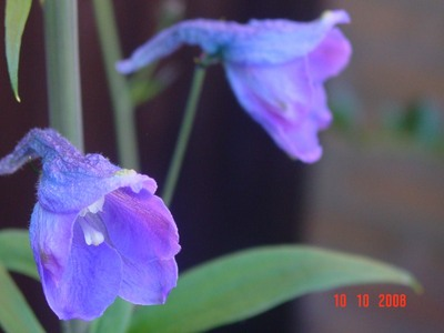 Delphinium_flowert
