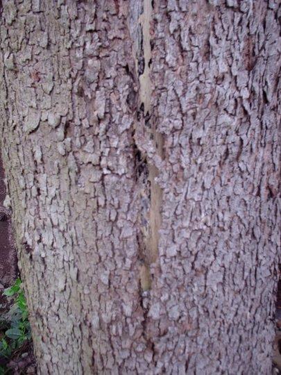 Eucalyptus_tree_001