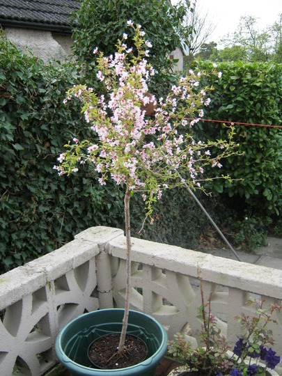 Prunus_shrub_001