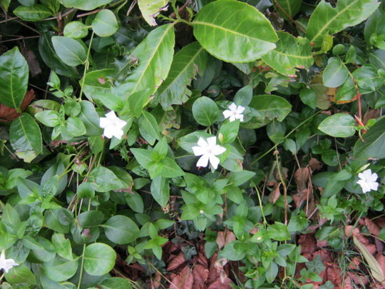 White_flowers_001