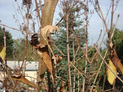 Lilac_tree_pod