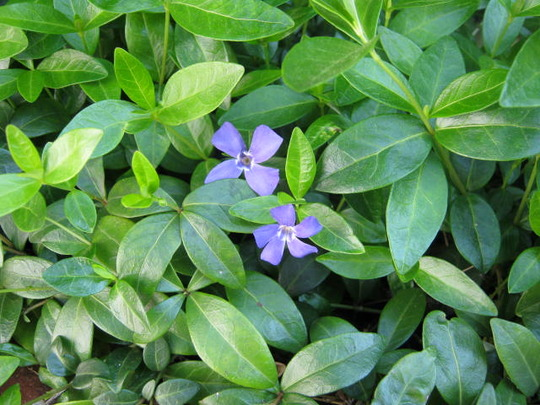 Blue_flowers_001