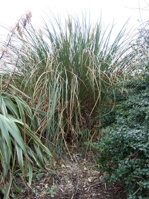 Pampas_grass_after_clearance