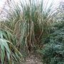 Pampas_grass_after_clearance