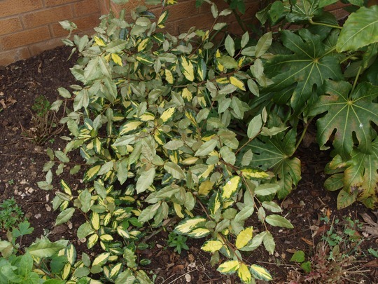 Eleagnus_pungens_maculata_with_new_green_leaves