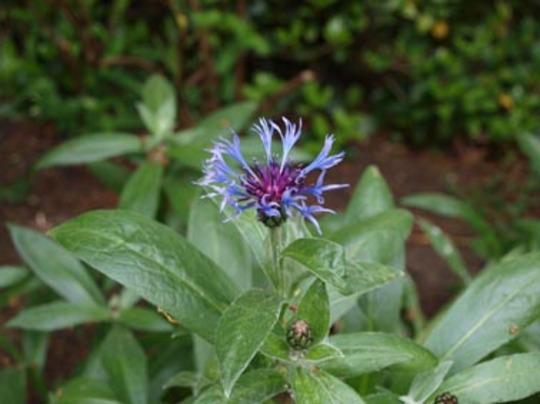 Centaurea_montana_peculiarity_16_05_2011