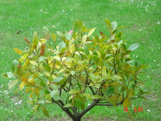 Bay_tree