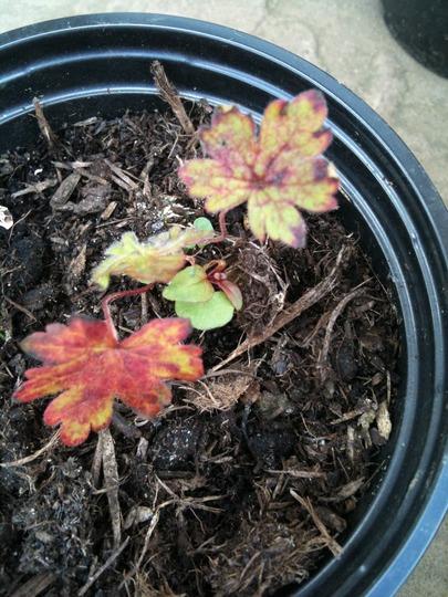 Geranium_seedlings_1