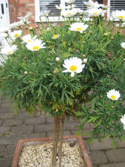 I Bought Two Standard Marguerite Daisies And Planted Them