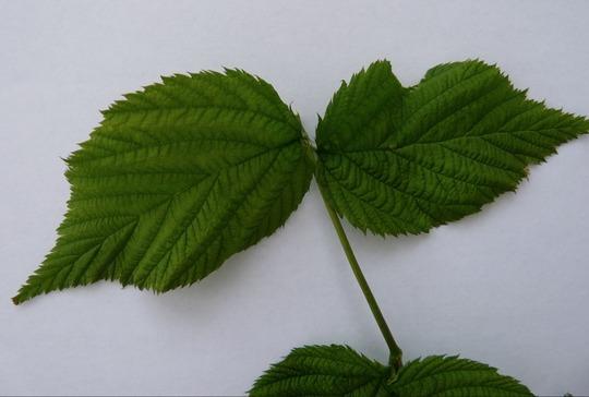 Mk_leaves
