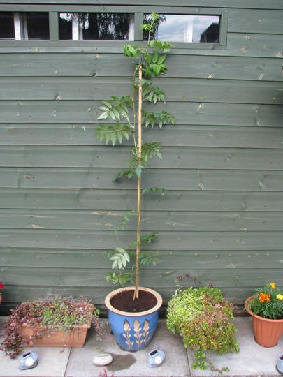 Rowan_tree_repotted