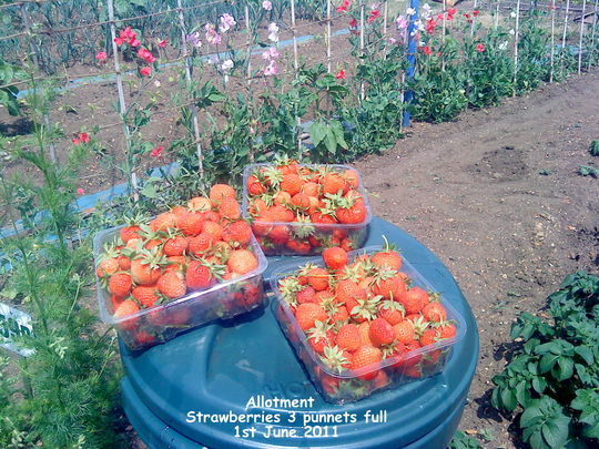 Allotment_strawberries_3_punnets_full_01_06_2011