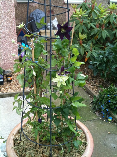 Clematis_the_vagabond_and_peppermint