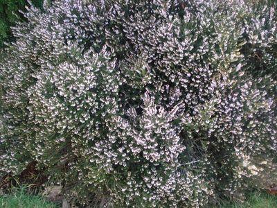 Lavender_bush