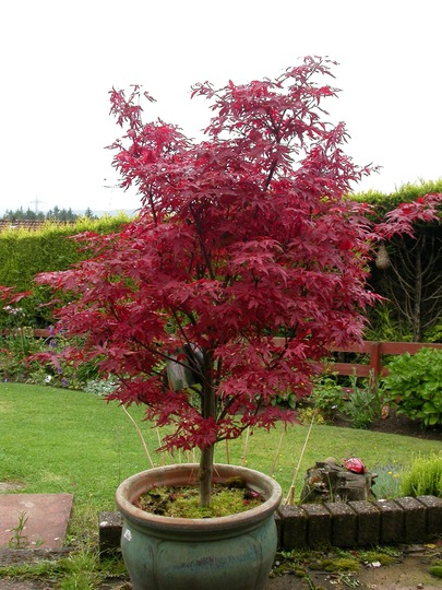 i have an acer palmatum 39 skeeter 39 s broom 39 grows on you. Black Bedroom Furniture Sets. Home Design Ideas