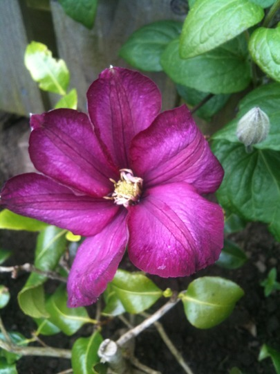Unknown_clematis