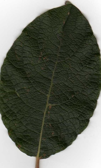 Leaf_scan