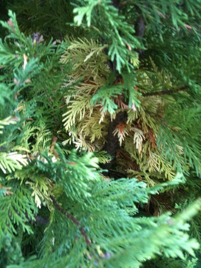 Conifer_foliage_1