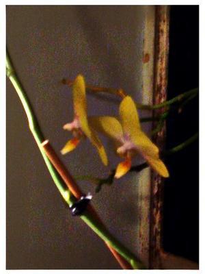 Orchid_rikki_midddlesize