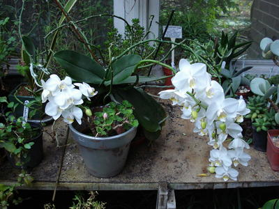 Orchid_rikkis_white