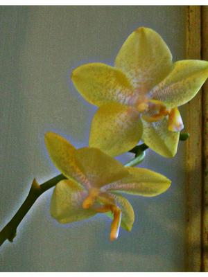 Orchid22