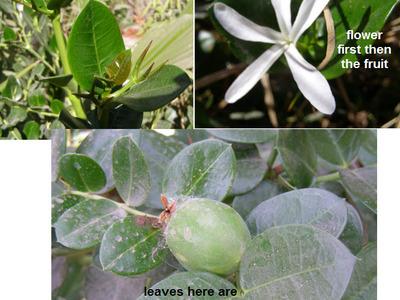 Baja_plant_to_identify