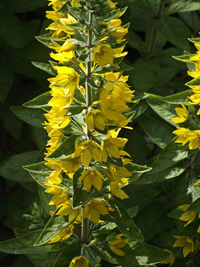 Yellow_bloom