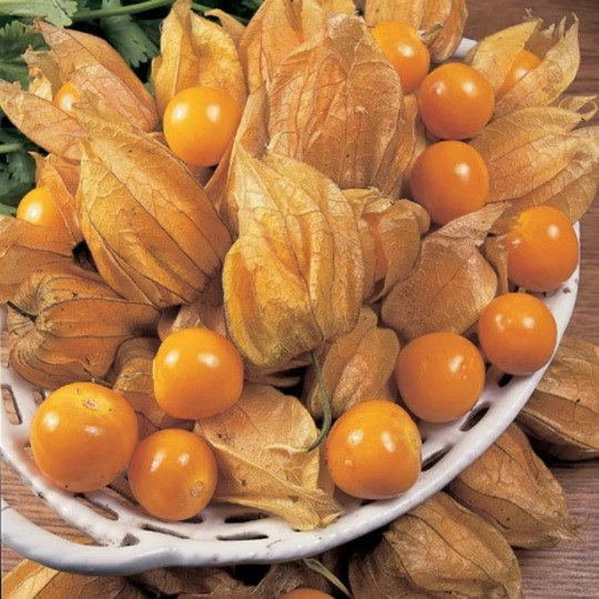 Physalis_little_lantern