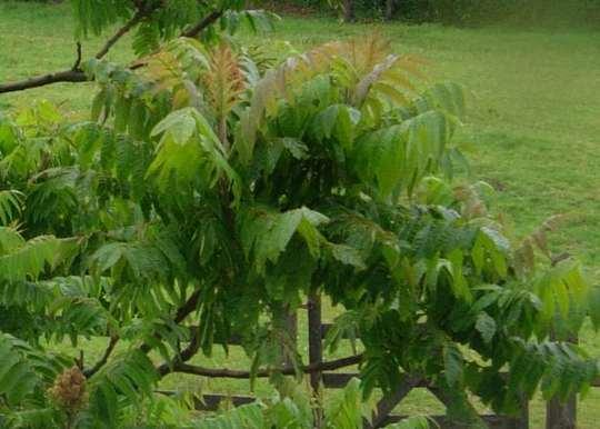 Cornwall_tree_1