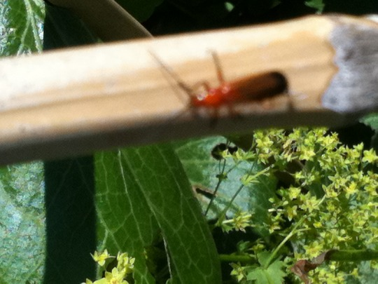 Red_bug_on_cane