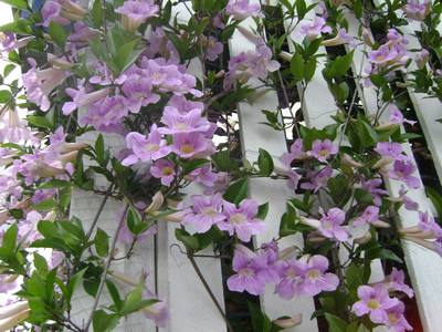 Lilac_bells_at_veranda_door_33_denham