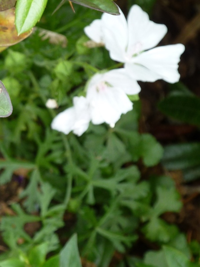 P1010683_second_pic_of_white_flower._july.2011_edit