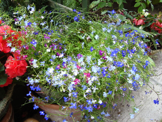 Can And Should Lobelia Be Trimmed Down Hard To Enable Regrowth And